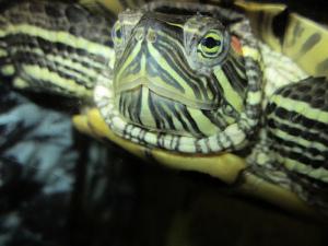 austin-turtle